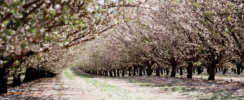 Almond trees in flower