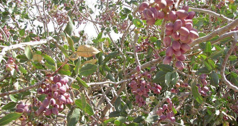 Pistachio ready for harvest