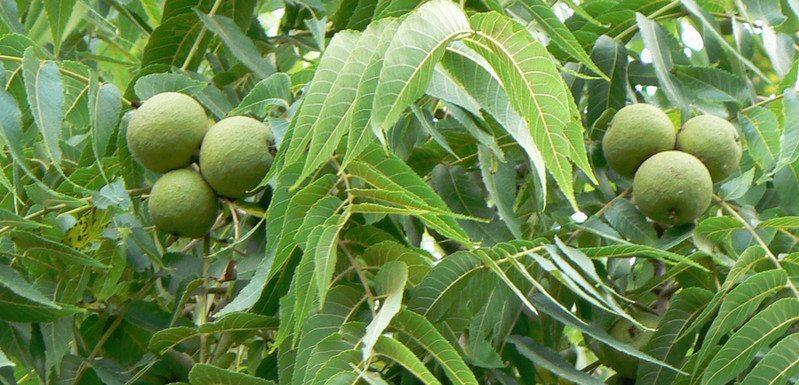 Walnut fruit containing the nut