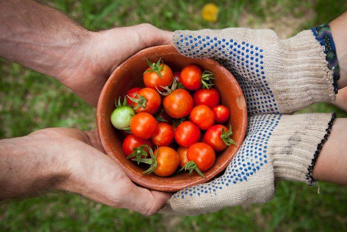 tomato_harvest